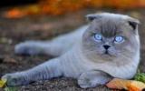 Английские породы кошек: фото с названиями и описание