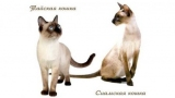 Тайська і сіамська кішка: відмінності і подібності, опис, фото