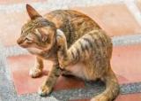 Антигістамінні препарати для кішок: огляд і фото