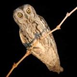 Карликова сова сплюшка: фото, як доглядати в домашніх умовах?