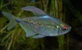 Харациновые аквариумные рыбки: описание, содержание и уход